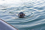 Coy seal plays hide and seek on the evening of a summer's day on Nelson Bay in the San Juan Islands