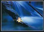 FB 193   Maple Leaf and Stream, 5x7 postcard