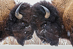 Two bison butt heads, Yellowstone National Park, Wyoming, USA