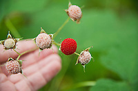 Thimbleberries grow in the cool lush coastal climate of Isle Royale National Park.