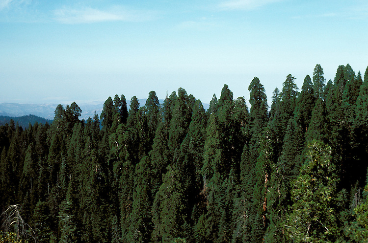CA: Sequoia-Kings Canyon National Park, Redwood Mountain Grove    .Photo Copyright: Lee Foster, lee@fostertravel.com, www.fostertravel.com, (510) 549-2202.Image: catree214