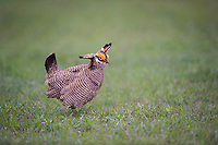 572110247 a wild lesser prairie chicken tympanuchus pallidicintus displays and struts on a lek on a remote ranch near canadian in the texas panhandle