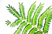 A close-up of an 'ama'u tree fern (Sadleria sp.), Kulaniapia Falls, Hilo, Big Island.