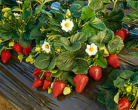 Agriculture - Strawberry plant close-up with ripe berries and blossoms / Watsonville, California, USA