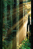 Morning light, Del Norte Coast Redwoods State Park, part of the Redwoods State and National Parks, California.