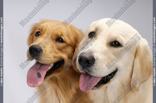 Two one year old Golden Retrievers looking at the camera. Isolated on gray background