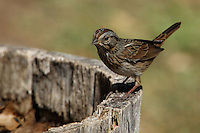 A handsome bird of boggy areas, the Lincoln's Sparrow is best identified by the fine streaks on its buffy chest.