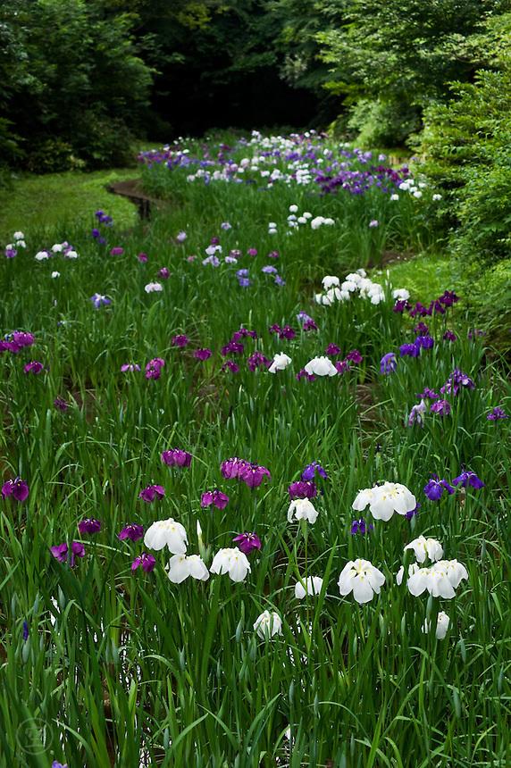 Japanese iris (Iris ensata) display at the Meiji Jingu Gyoen garden, Tokyo, Japan.