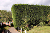 Huge Leylandii hedge next to a bungalow, Cranleigh, Surrey.  Leylandii are fast growing, can become very tall and thick and occasionally cause severe disputes between neighbours.