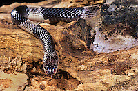 439854007 a captive many-banded krait bungarus multicinctus multicintus lays coiled on a large log - this is a captive animal - species is native to southeast asia