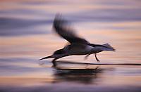 Black Skimmer, Rynchops niger, adult in flight fishing at sunset, Fort Meyers, Florida, USA
