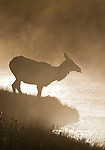 A cow elk prepares to cross the Madison River on a misty morning in Yellowstone National Park, Wyoming, USA, October 1, 2007.  Photo by Gus Curtis.