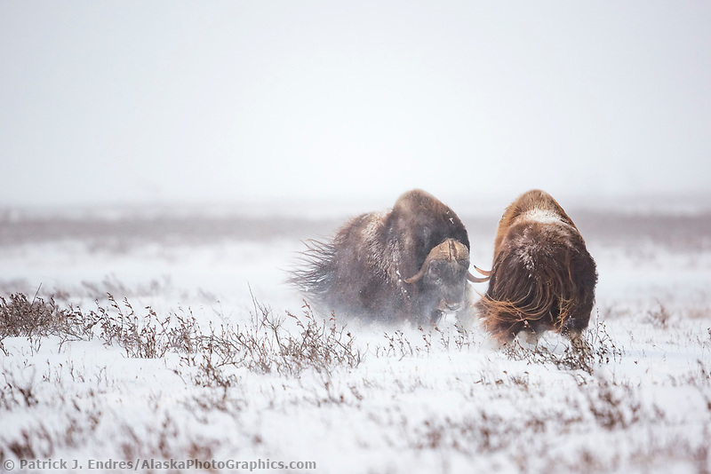 Two muskox spar on the snowy Arctic tundra, Arctic North Slope, Alaska.