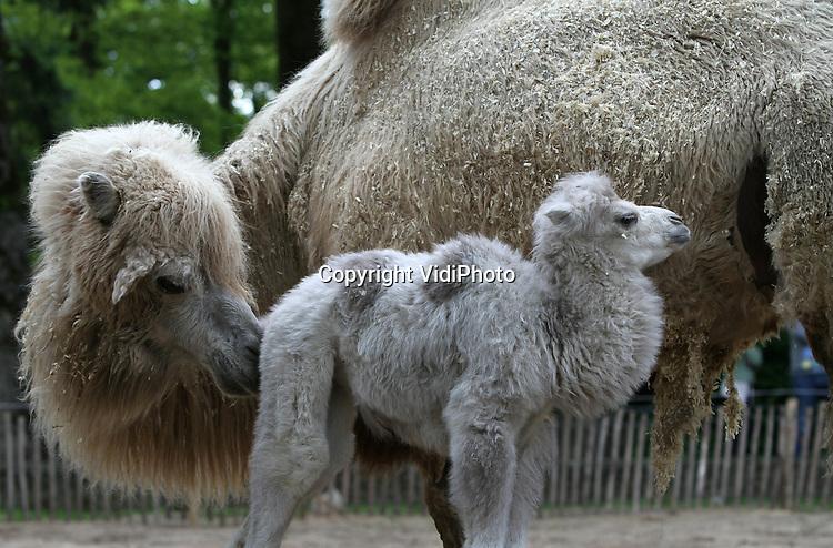 Foto: VidiPhoto..RHENEN - Voor het eerst in vier jaar heeft Ouwehands Dierenpark weer een blonde kameel. Het vorige week geboren diertje mocht dinsdag met moeder Dolores voor het eerst naar buiten (foto) en daarna de rest van de kamelenfamilie ontmoeten. Bijzonder aan het jong is de blonde vachtkleur. Meestal zijn kamelen donkerbruin van kleur.