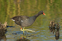 559500006 common gallinule gallinula galeata or common moorhen gallinula chloropus wild texas.Adult in Pond.Anahuac National Wildlife Refuge, Texas