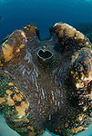 Giant clam .Tridacna gigas