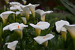 Rain drops on Calla Lily in the gardens at Savegre Mountain Lodge in the Tamalanca Mountains in Costa Rica.