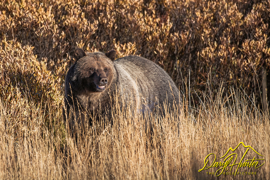 Huge Grizzly Bear taking in the evening  sun in the Bridger Teton National Forest of Jackson Hole Wyoming.