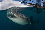 Cenderawasih Bay Whale Sharks