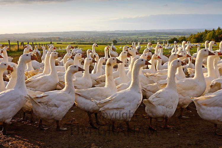Geese farm, Oxfordshire, United Kingdom. Free-range birds may be at risk if Avian Flu (Bird Flu Virus) spreads