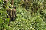 Two Uganda Wildlife Authority gorilla tracking rangers in the jungle of Uganda's Bwindi  Impenetrable Forest, one of Africa's rare, remaining gorilla habitats, and a UNESCO World Heritage Site.
