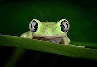 Lemur Leaf Frog (Hylomantis lemur), Central America. Captivity