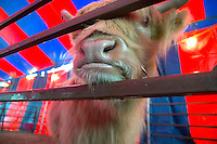 Hairy cow at the circus petting zoo, poking nose through the iron fence rail. Circus tent in background