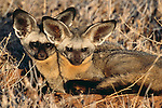 Bat-eared Foxes, Botswana