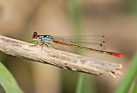 337850006 a wild adult male painted damsel hesperagrion heterodoxum perches on a water plant leaf on the membis river near royal john mine road grant county new mexico united states..GPS:N 32.73066.         W -107.86653