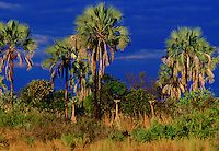 Herd of giraffes well camouflaged and peering from their hiding place among the palm trees and shrubs, Moremi National Park, Botswana, Southern Africa