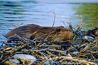 Beaver (Castor canadensis) working on beaver dam, late Fall.  Beaver is placing a rock on the dam.  Western U.S.