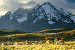 Guanaco herd grazes on the rugged Patagonian plain, Torres del Paine National Park, Chile
