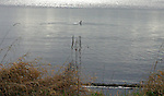 cormorant crossing Lake Washington in late afternoon just in front of wind and reflected sun