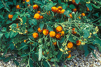 Tomatoes and Marigolds interplanted for companion planting to prevent insect and bugs, showing flowering French marigolds Tagetes and fruit on tomatoes with buds for organic growing