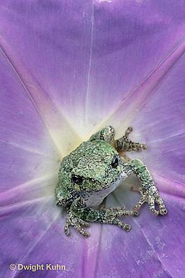 FR15-040c  Gray Tree Frog - Hyla versicolor