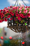 Just watered hanging flower baskets downtown Missoula, Montana