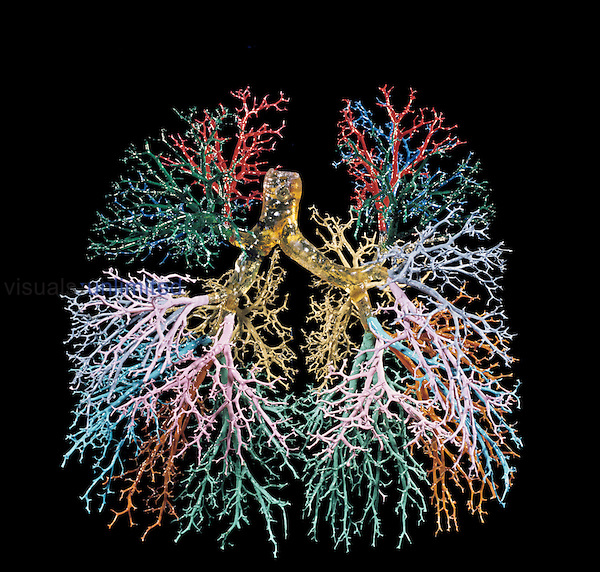 Resin cast of the human lungs and bronchial tree. The airways of each lobe of the lung have been cast in a different color. The lungs have a large network of airways, which gives them a huge surface area for oxygen to diffuse into the blood and carbon dioxide to diffuse out.