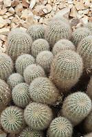 Golden Eastern Lily Cactus Echinopsis aurea 'Leucomalla'
