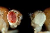 Fruit Fly (Drosophila melanogaster) comparison of Wild Eye and White Eye mutation. LM
