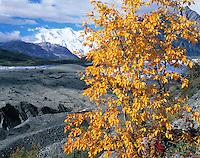 Alaskan Cottonwood & Root Glacier, Wrangell-St. Elias National Park & Preserve, Alaska   Populus sp.