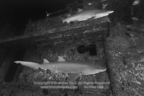 TP0529-Dbw. Sand Tiger Sharks (Carcharias taurus) aggregate around shipwreck of the Spar, a 180-foot long Coast Guard Cutter sunk on purpose in 2004 to create an artificial reef for scuba divers. This shark also known as Gray Nurse Shark and Ragged-tooth shark. Previously classified as Eugomphodus taurus and Odontaspis taurus. North Carolina, USA, Atlantic Ocean. Color photo converted to black and white.<br /> Photo Copyright &copy; Brandon Cole. All rights reserved worldwide.  www.brandoncole.com