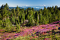 OR01650-00...OREGON - Brightly colored paintbrush and heather in a meadow along the McNeil Point Trail in the Mount Hood Wilderness area with a view of Mount Rainier and Mount Adams.