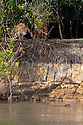 Wild female Jaguar (Panthera onca palustris) stalking a startled Capybara (Hydrochaeris hydrochaeris) swimming in the Piquiri River (a tributary of Cuiaba River). Northern Pantanal, Brazil.
