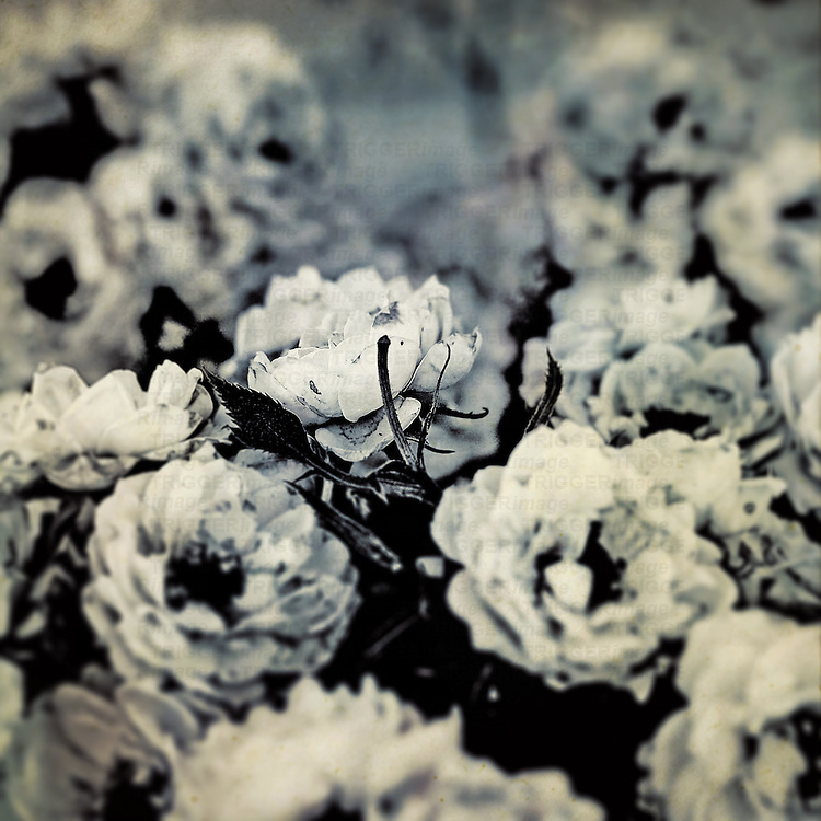 Closeup Vintage photo of small roses.