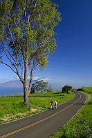 The Kula Highway in upcountry Maui gives drivers (bicyclists in this photo) the opportunity to discover an elevated, panoramic view of central and west Maui.This road leads to the Famous Tedeschi Winery and Ulupalaku Ranch