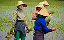 Rice farmers transplant the rice seedlings by hand, one by one.