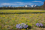 Idaho, Southcentral, Stanley. The Sawtooth Range  and wildflower meadow of purple and yellow.