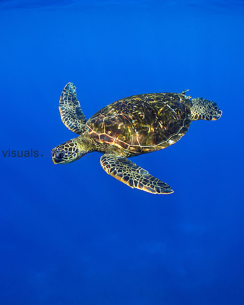 Green Sea Turtle (Chelonia mydas) swimming off the Kona Coast, Big Island, Hawaii, Pacific Ocean.