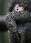 JAMES BOARDMAN / 07967642437 - 01444 412089 .A newly born female Drill [Mandrillus leucophaeus] makes her first apperence at Port Lympne Wild Animal Park in Kent. The short tailed forest baboon is the first to be born in the Uk for forty years... .