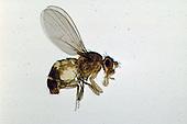Adult Fruit Fly (Drosophila).
